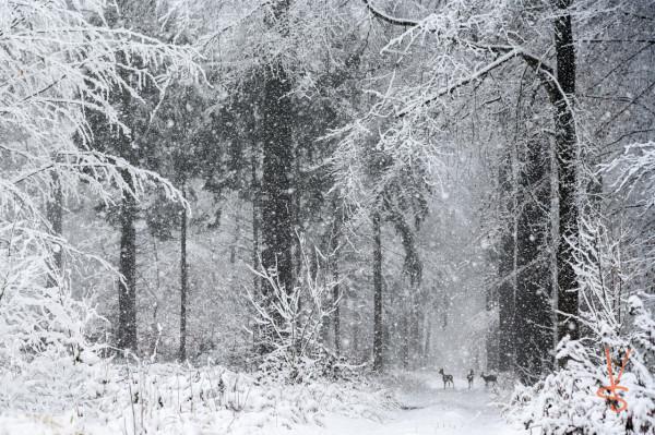 Chevreuils neige DSC0330 b copie.jpg